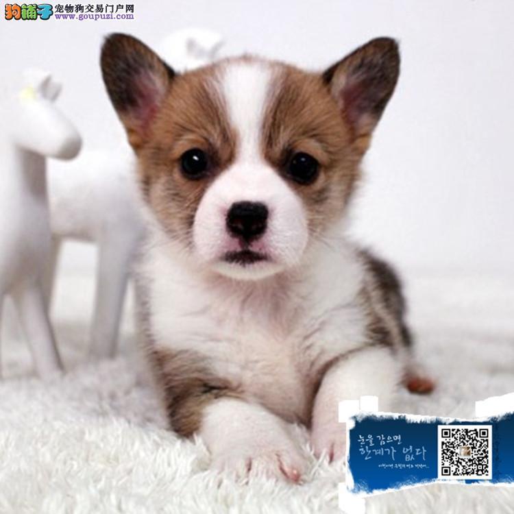 英国双血统出售纯种柯基犬幼犬狗狗 威尔士三色