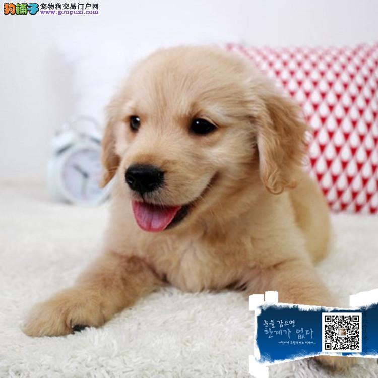 赛级大头金毛幼犬,保健康纯种带血统,加微信视频选