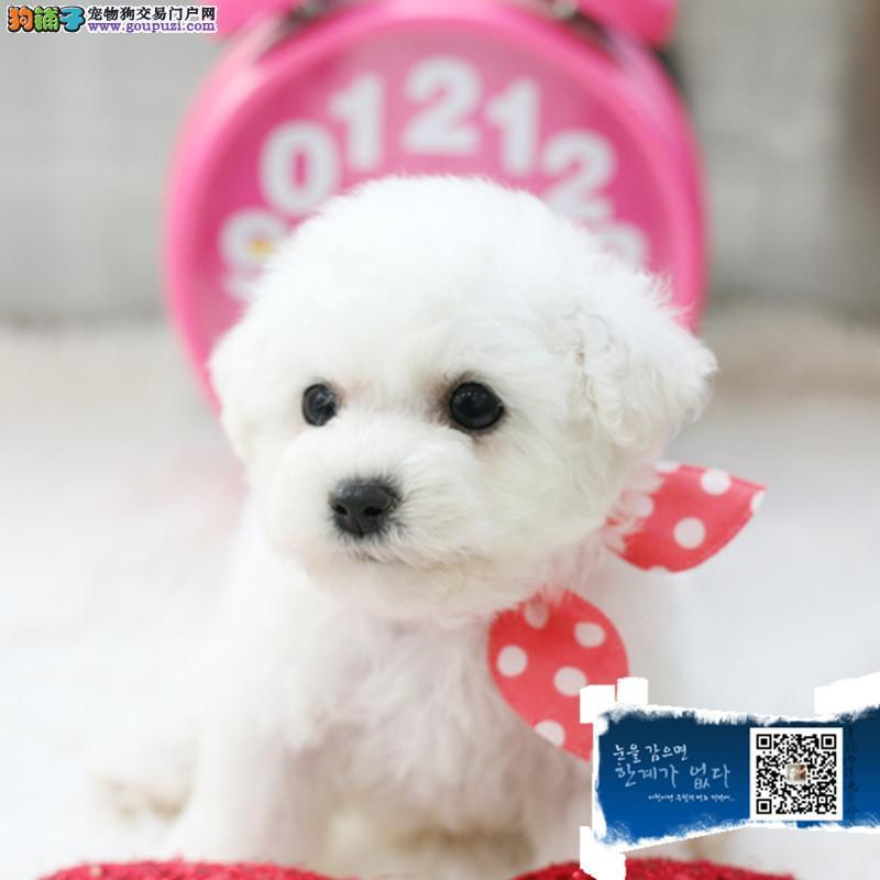 圆脸蛋比熊 厚毛量棉花糖比熊宝宝 欢迎上门看狗