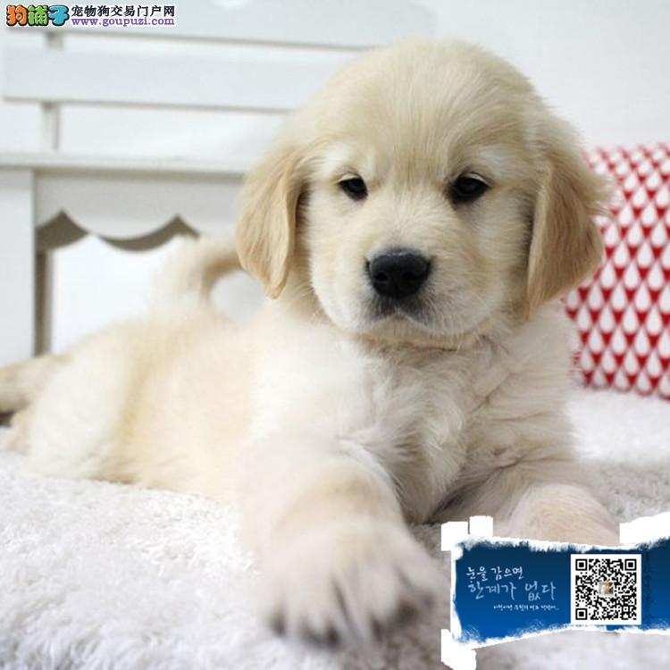 赛级大头金毛幼犬,保健康纯种带血统