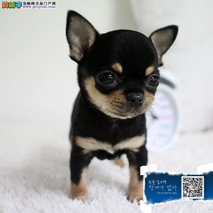 赛级吉娃娃幼犬纯种健康签订协议