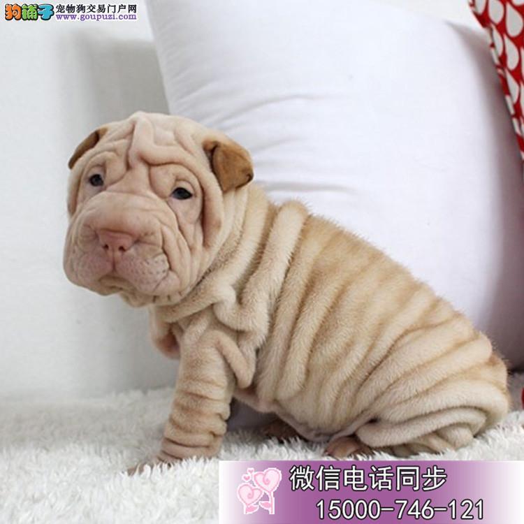 可爱的沙皮幼犬 适应能力强 血统纯正 聪明好训