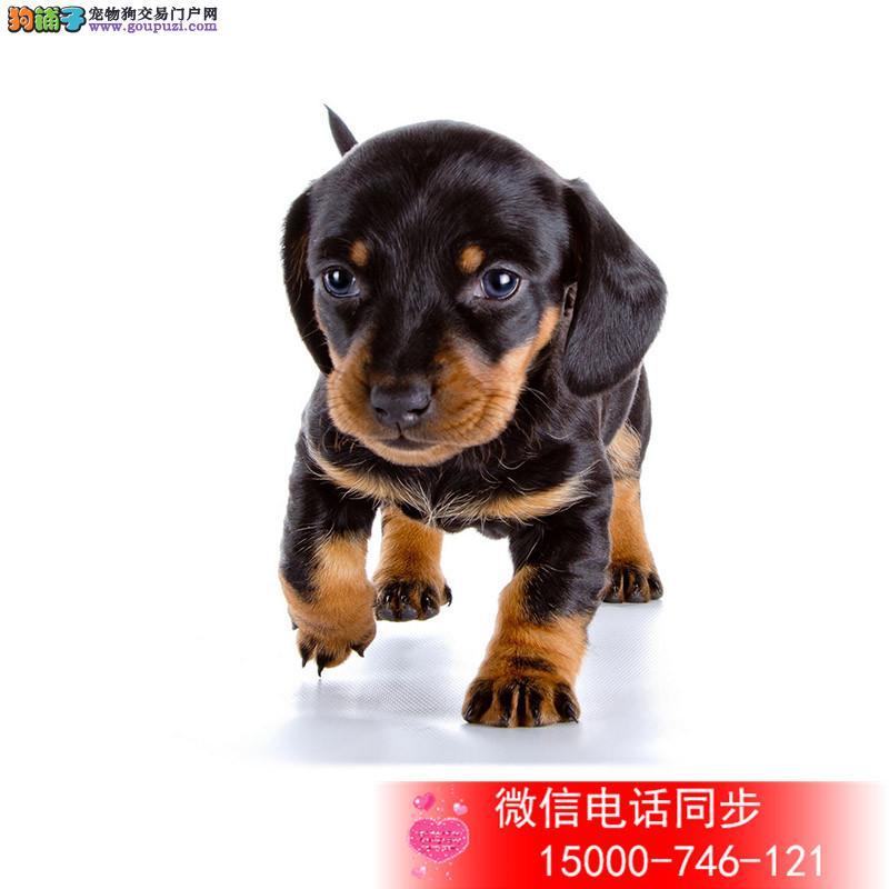 买纯种腊肠犬宝宝 活泼可爱 健康保证 签质保协议