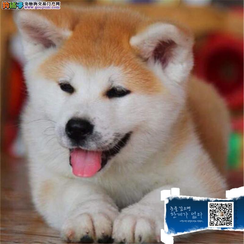 日本引进秋田犬 签合同保纯种健康 可送狗上门