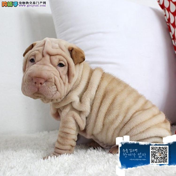 浙江沙皮犬幼犬出售纯种赛级沙皮犬幼犬家养宠物狗