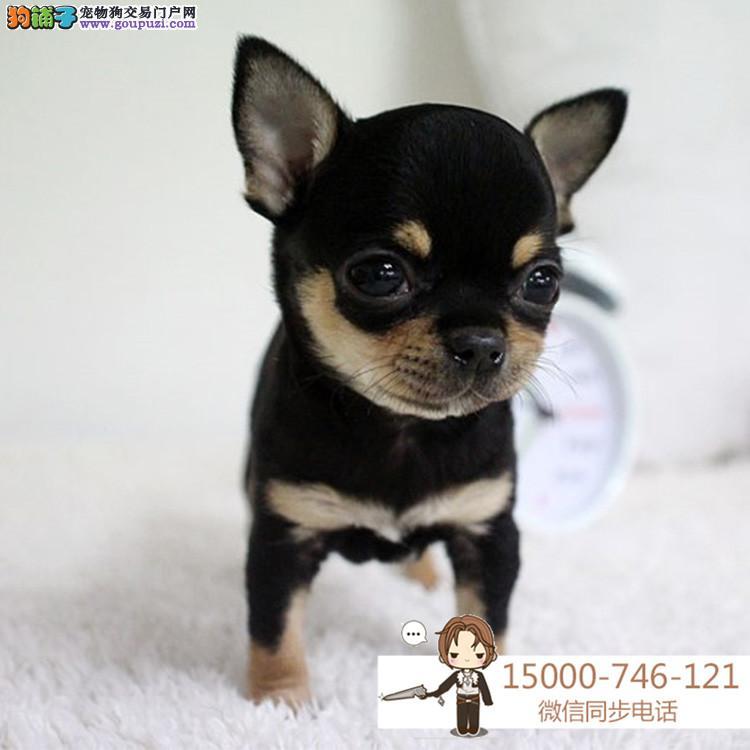 浙江出售纯种吉娃娃 狗场直销 纯种吉娃娃犬幼犬