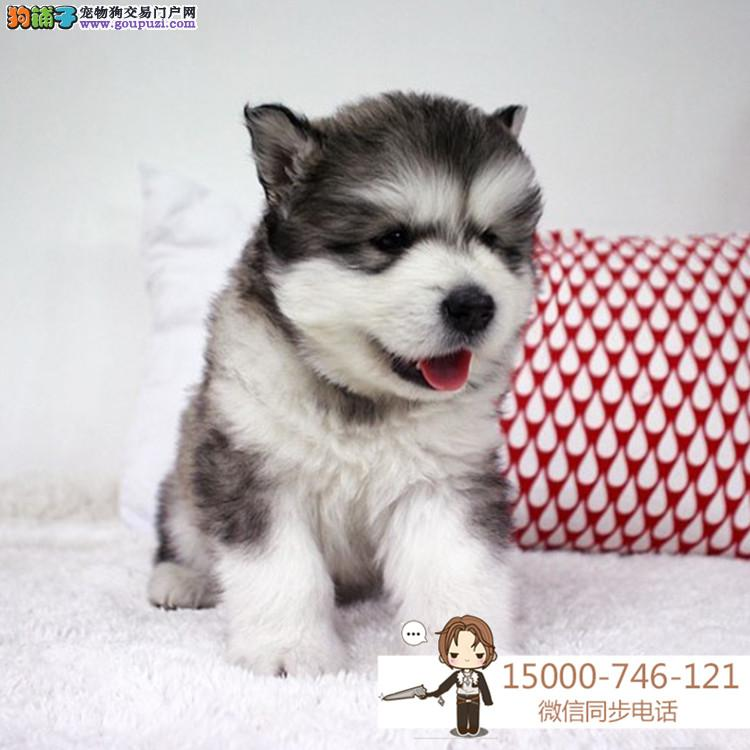 浙江哈士奇赛级犬证书芯片齐全可以签订协议
