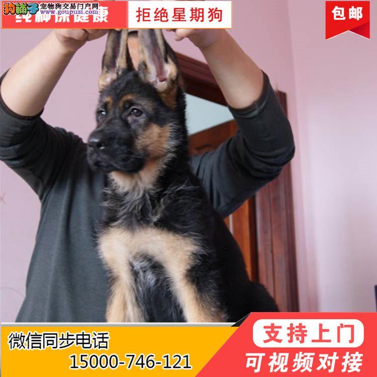 浙江纯种德系德国牧羊犬幼犬 多只待售 品相好身体健壮