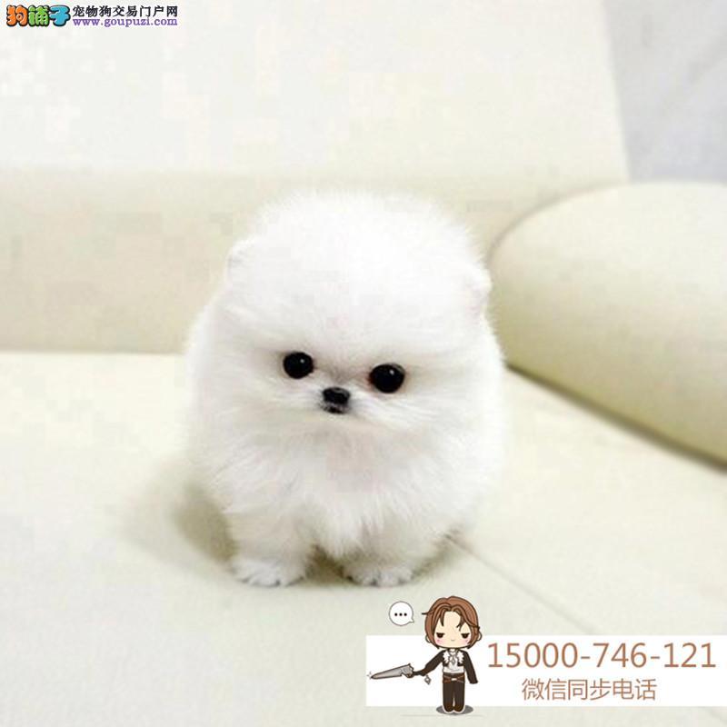浙江CKU认证犬舍出售纯种博美 博美幼犬 终身质保
