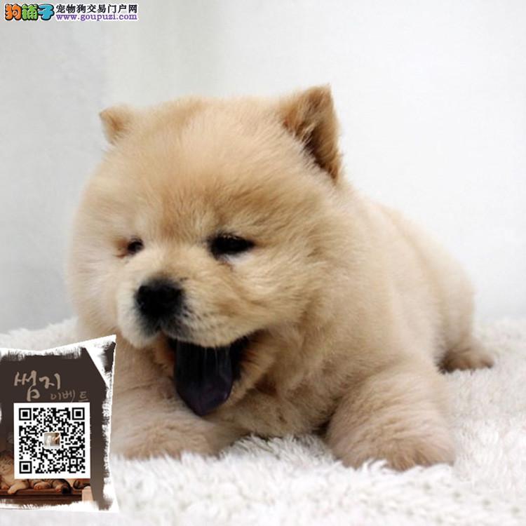 浙江出售纯种大头肉嘴紫舌头松狮犬多种颜色