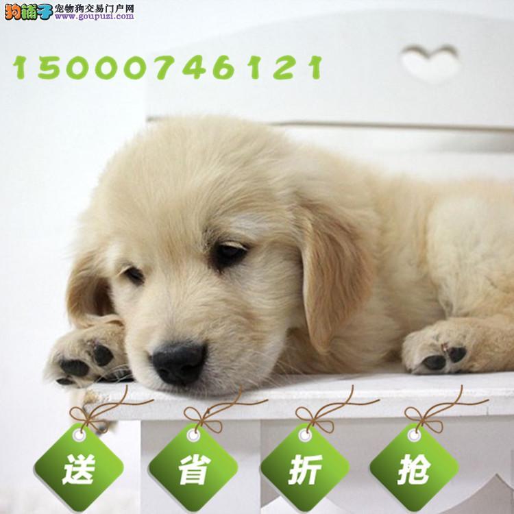 浙江正规狗场,纯种金毛三月龄公母全有 实行三包