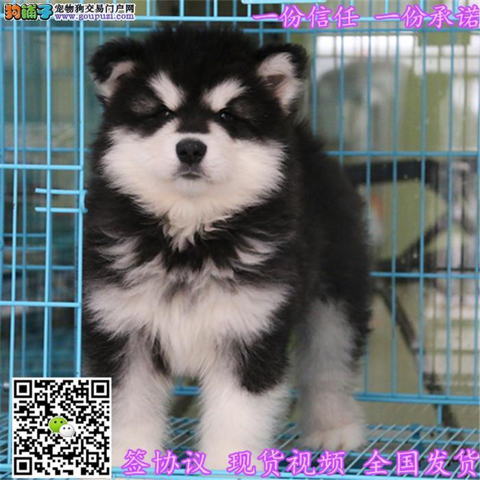 基地阿拉斯加犬幼犬舍出售保证纯种健康
