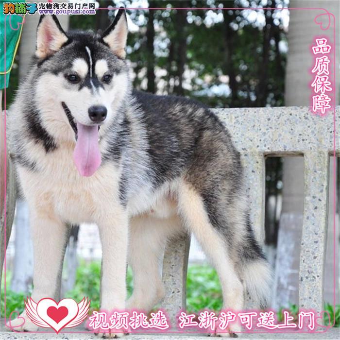犬舍诚信出售 高品质纯种健康 哈士奇幼犬 可送货