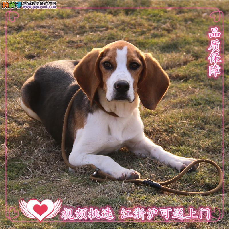 比格犬舍专业繁殖出售高品质比格幼犬保证纯种健康