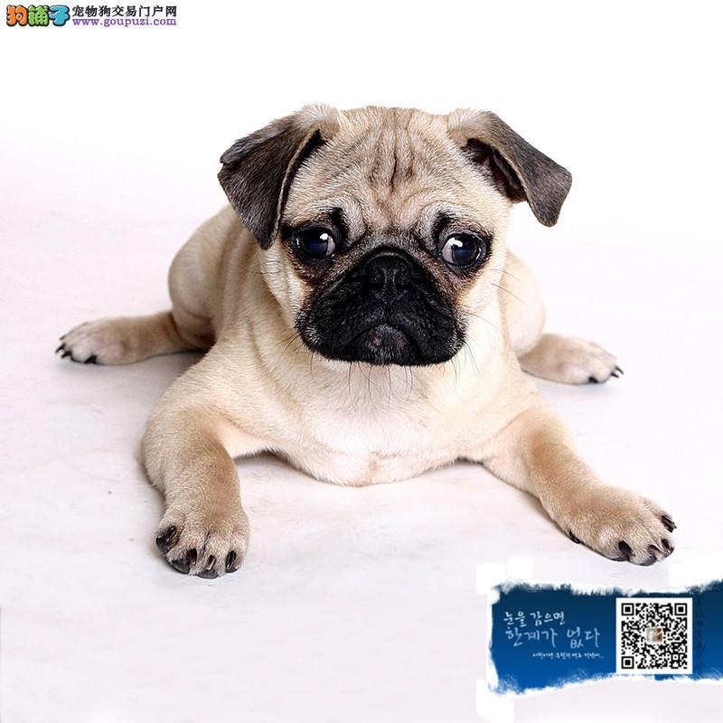 活泼个性的巴哥 疫苗齐全 大型犬舍繁殖 各类宠物