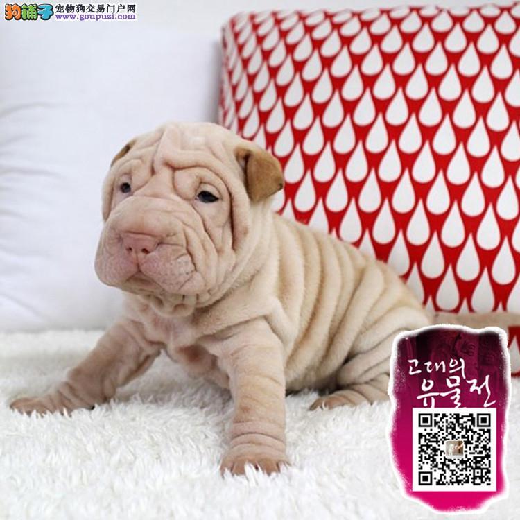 浙江可爱的沙皮幼犬 皱脸沙皮 适应能力强 血统纯正