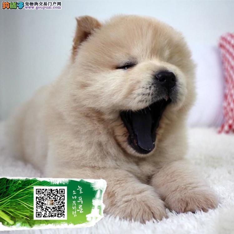浙江出售松狮幼犬 肉嘴松狮 胖嘟嘟非常可爱公母均有