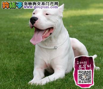 浙江 基地出售纯种杜高杜高幼犬赛级杜高犬 疫苗驱虫