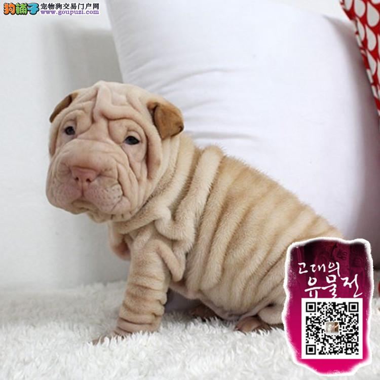 纯种沙皮 沙皮犬保证纯种健康 终身质保 饲养指导