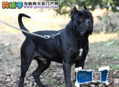 江苏高级护卫犬家庭伴侣犬威武霸气的卡斯罗正规诚信