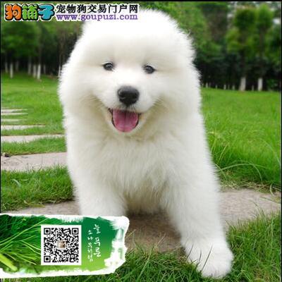 买大白熊犬 纯种健康 特价优惠 买狗送狗证 签协