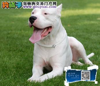 江苏高品质阿根廷杜高猎犬一窝公母都有欢迎选购