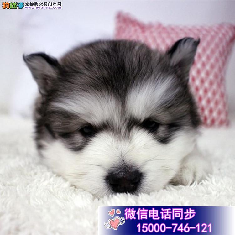 五星犬舍出售极品阿拉斯加幼犬 实物拍摄 非诚勿扰