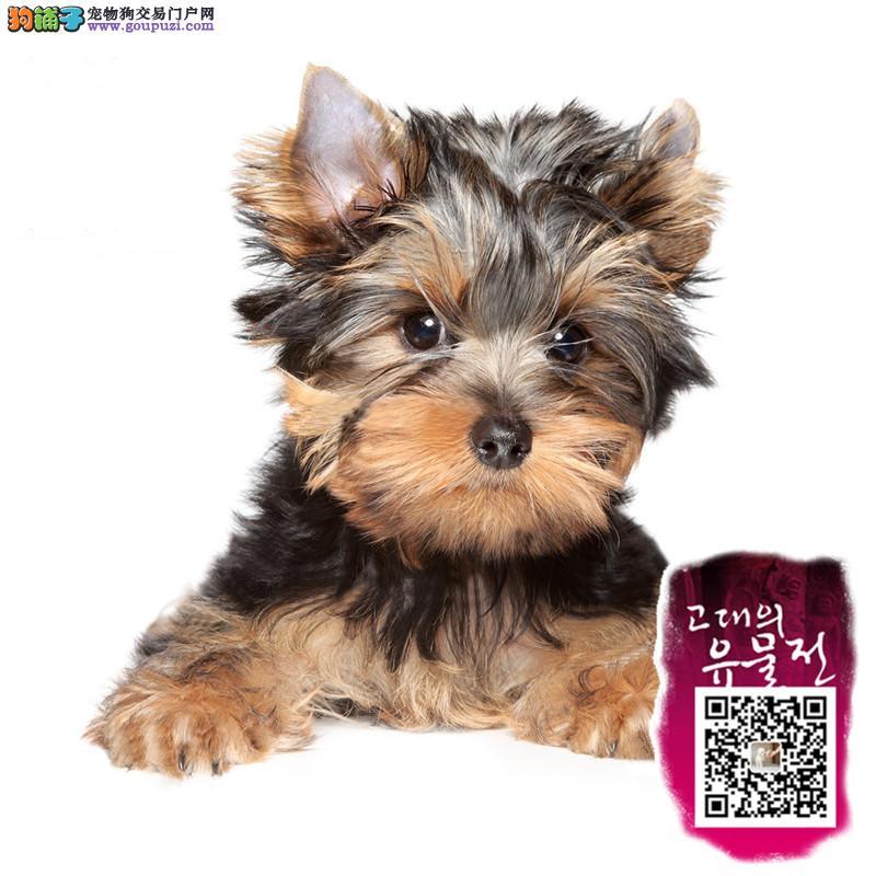 江苏出售西施犬幼犬 纯种健康有保障 签订质保协议