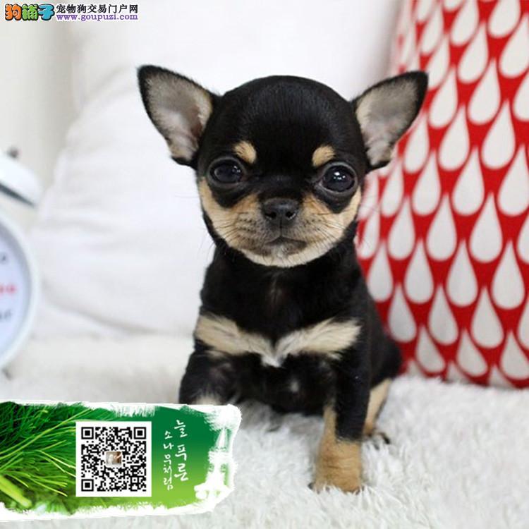 养殖基地出售苹果头大眼睛茶杯体吉娃娃幼犬