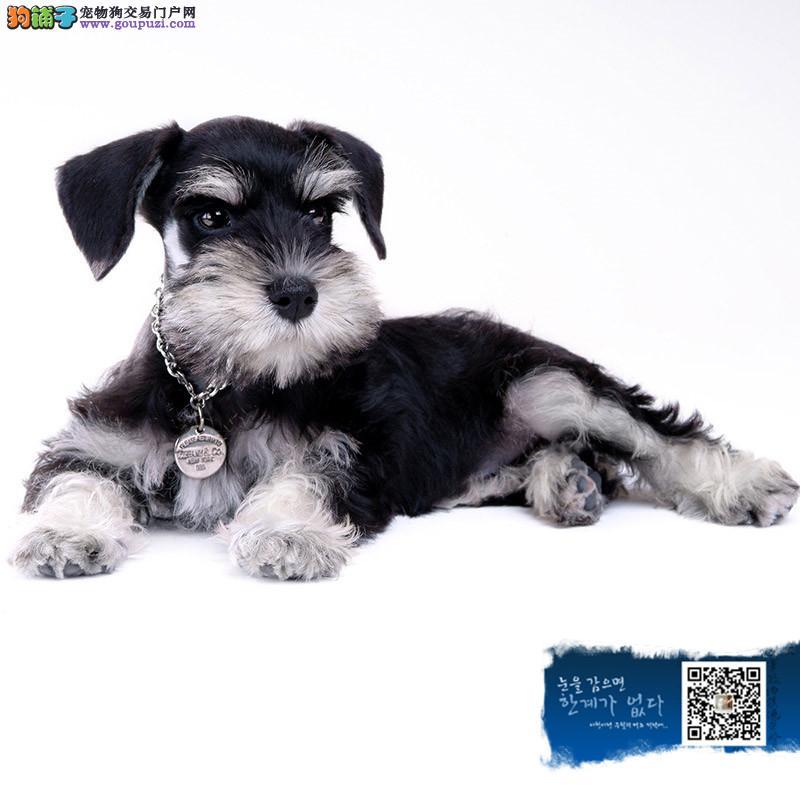 高端雪纳瑞繁育专家 雪纳瑞犬舍出售纯种迷你雪纳