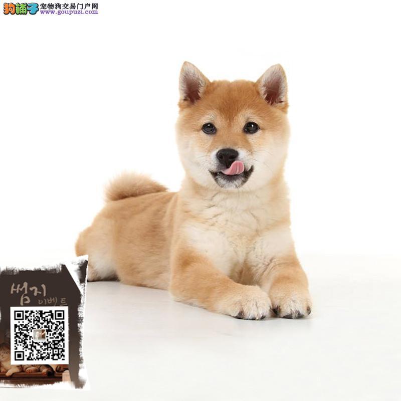 精品柴犬赛级犬证书芯片齐全签订协议