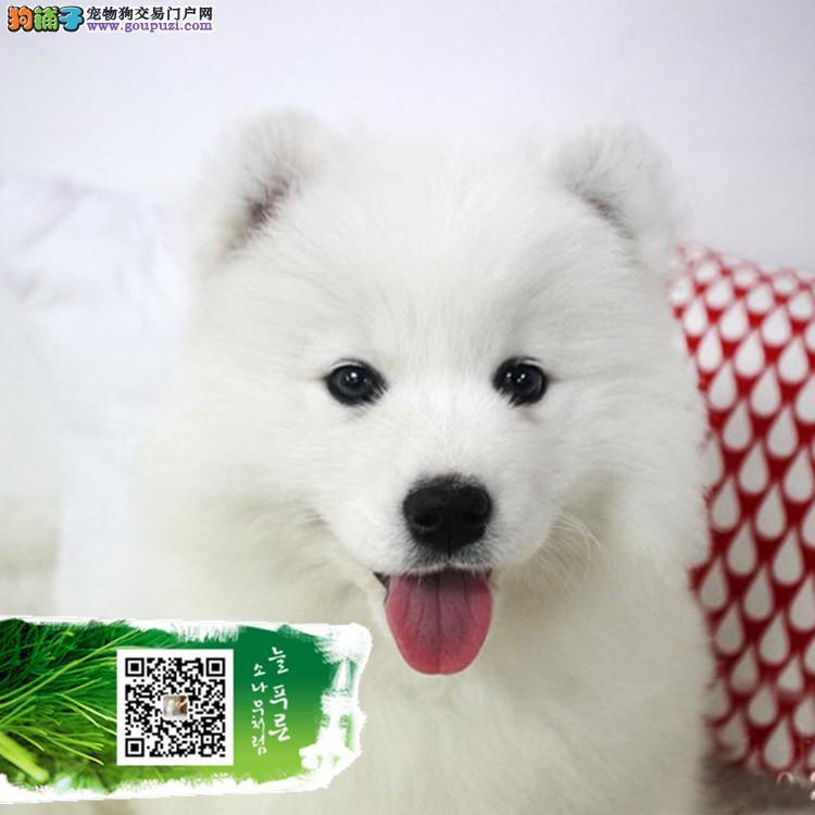 犬舍出售出售雪白微笑天使萨摩耶宝宝 品质保障