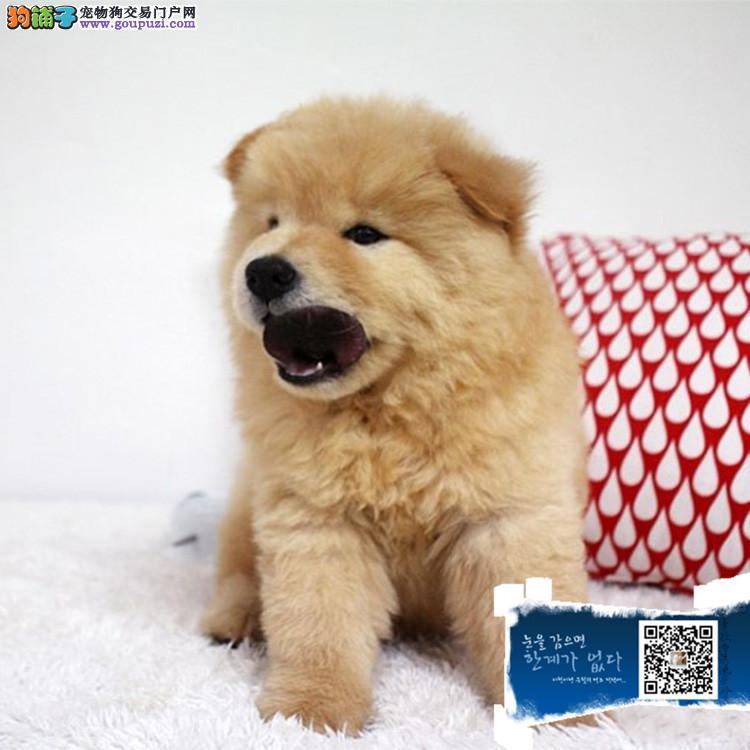 出售纯种大头肉嘴紫舌头松狮犬多种颜色疫苗驱虫做完