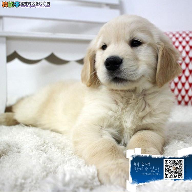 低价出售家养纯种赛级大头金毛巡回幼犬,欢迎上门挑