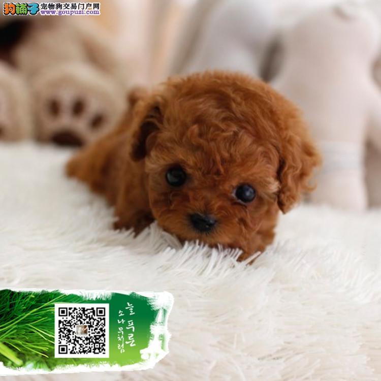 纯种泰迪 价格合理 买狗签协议包纯度健康