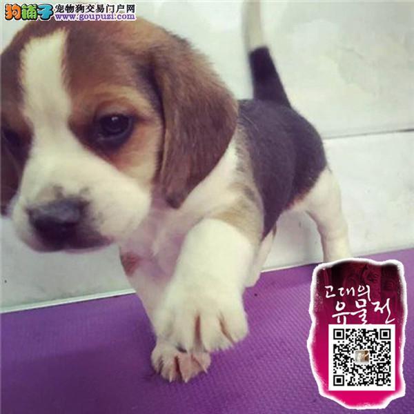 江苏好养帅气的比格狗狗出售了迷人的迷你型的比格