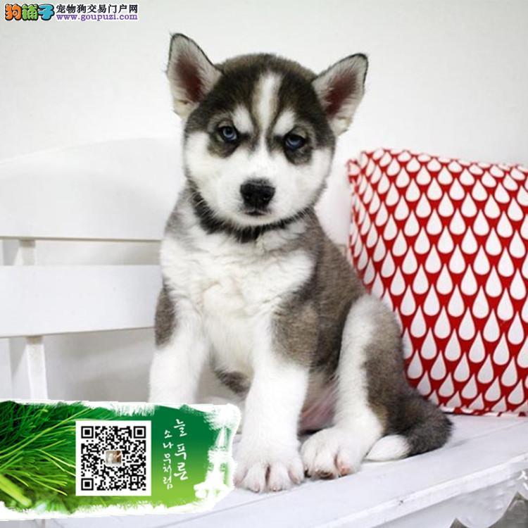 毛色好 精品哈士奇幼犬出售中 可签订活体协议