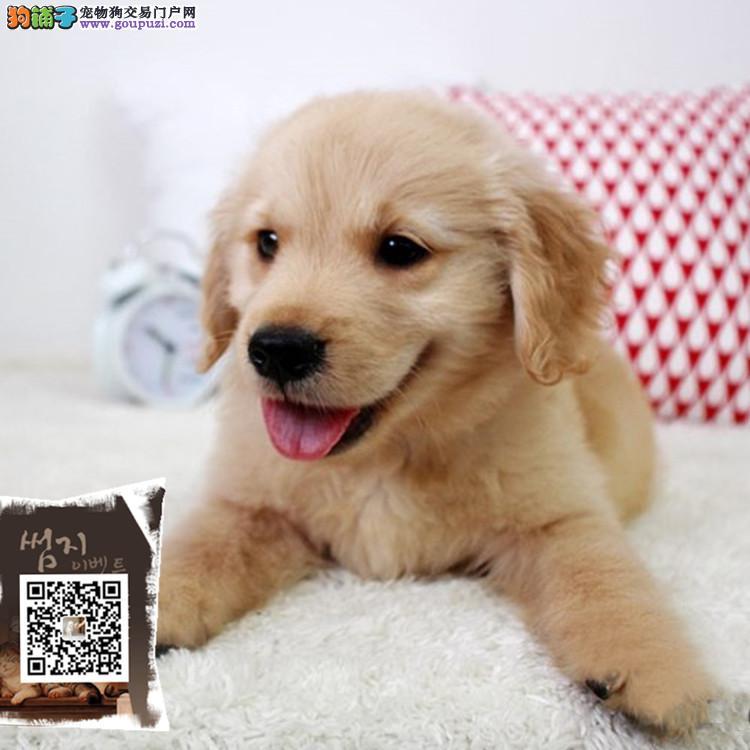 出售带血统金毛 纯种金毛犬幼犬