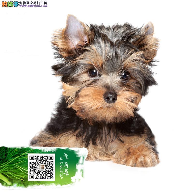 正规约克夏犬舍 所出售幼犬都是自家狗