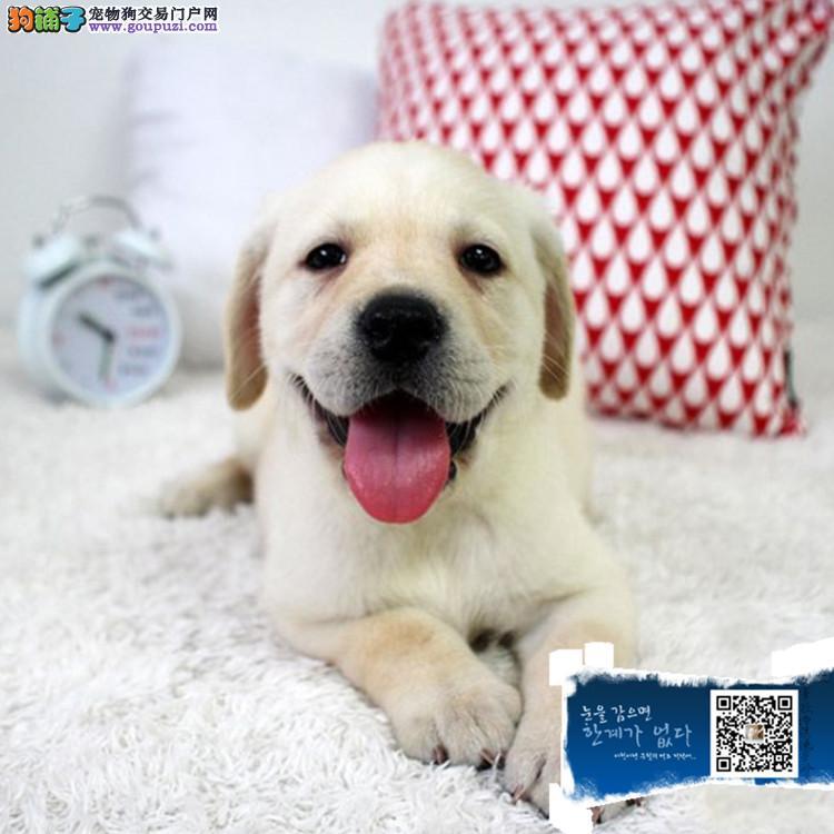 江苏 cku认证犬舍出售极品拉布拉多 签协议保健康