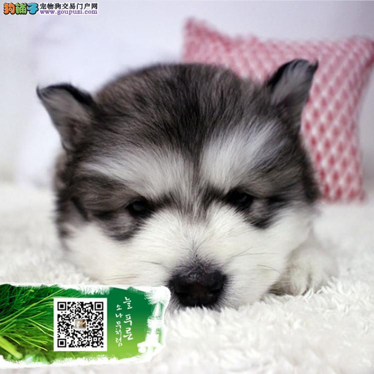 专业繁殖纯种十字脸阿拉斯加雪橇犬巨型阿拉斯加幼犬