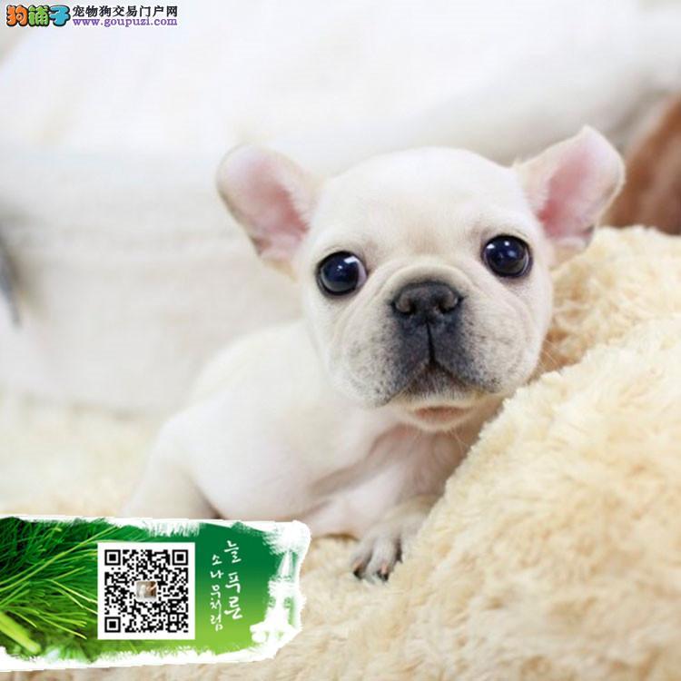 纯种的奶油斗牛犬低价出售可上门选购 包健康