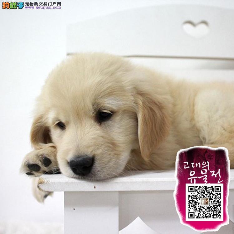 上海正规狗场,纯种金毛三月龄公母全有 实行三包