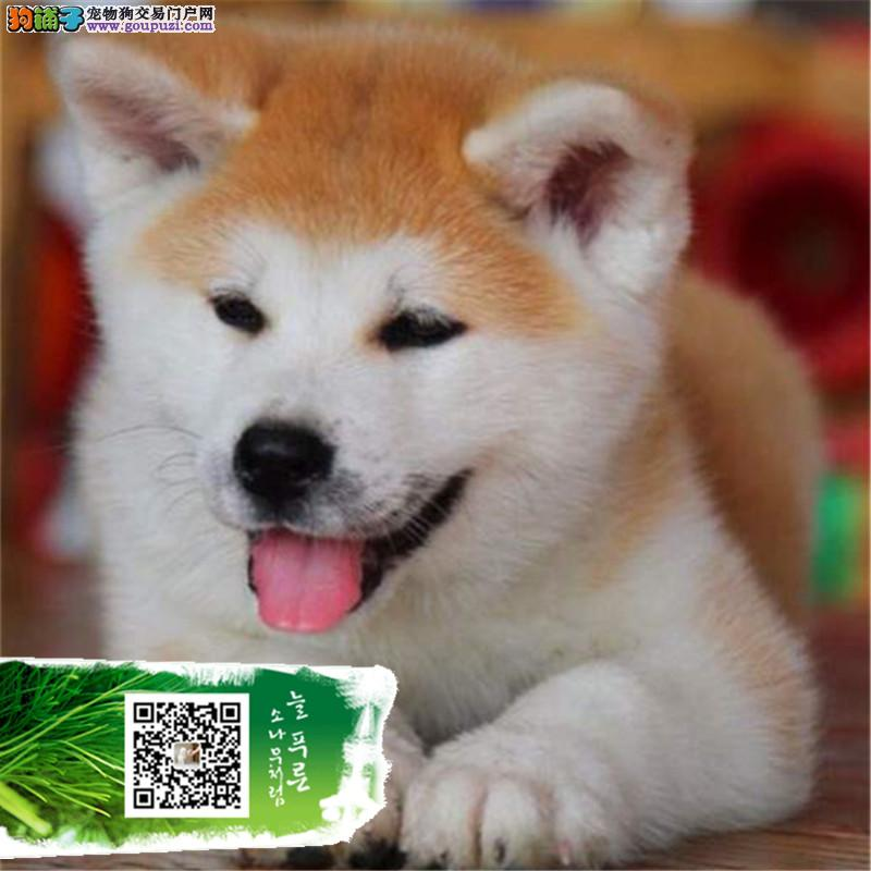 上海聪明,忠诚的纯秋田犬幼犬疫苗齐全,血统健康有保障