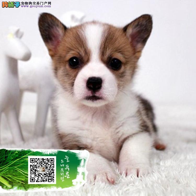 上海卡迪根威尔士柯基犬带证书出售中 终身免费指导