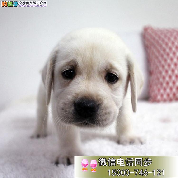 上海家养纯种拉布拉多犬宝宝找新家 可看狗妈妈