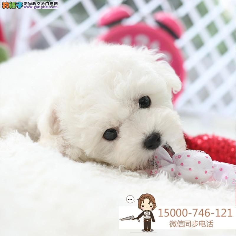 上海比熊犬纯种幼犬出售家养活体茶杯 长不大 长毛