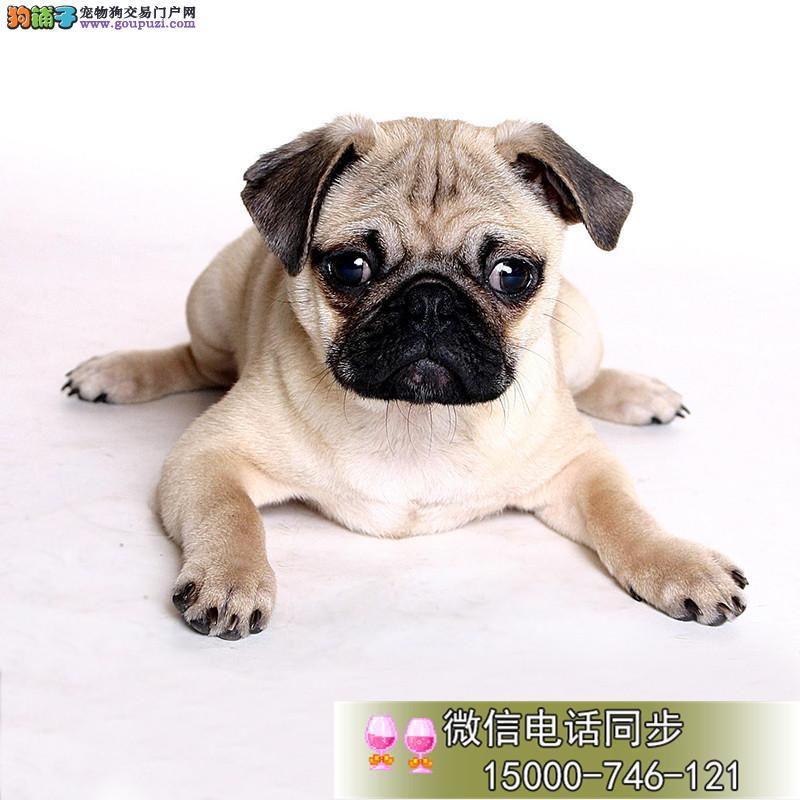 上海虎头巴哥犬热销中 虎头虎脑的巴哥 疫苗驱虫均已做