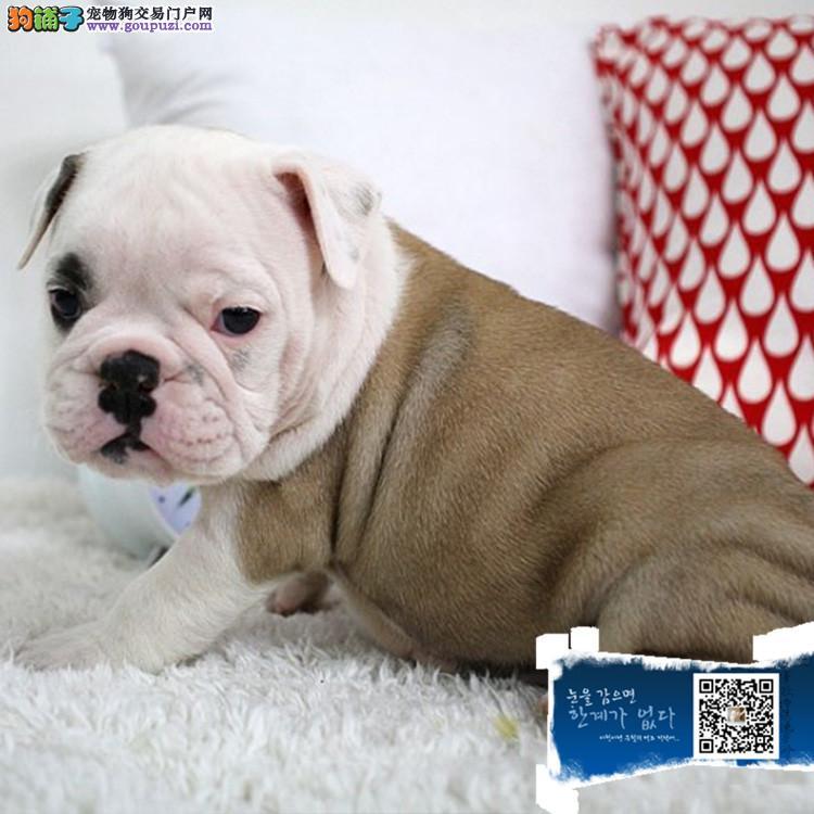 上海纯种英国斗牛犬幼犬 保证品质健康 颜色齐全的英牛