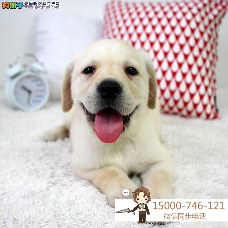 上海基地直销极品拉布拉多幼犬 保健康保纯种